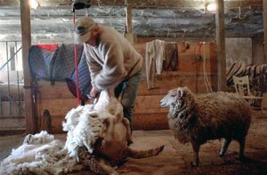 David Hinman Shearing Sheep